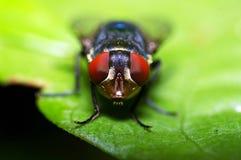 Hausfliegengesicht stockfotos