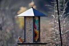 Hausgimpel auf einer Vogel-Zufuhr Stockbilder