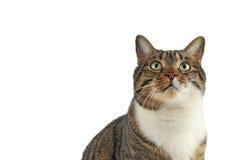 Hauskatze, die oben schaut Lizenzfreie Stockbilder