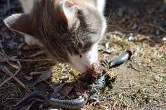 Hauskatze, die Schlange isst Lizenzfreie Stockbilder