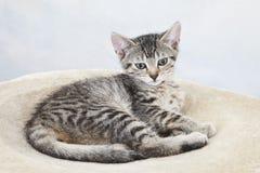 Hauskatze, Kätzchen, das auf Decke liegt Lizenzfreie Stockfotos