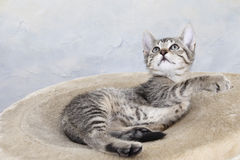 Hauskatze, Kätzchen, das auf Decke liegt Stockfotografie