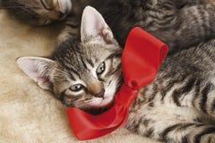 Hauskatze, Kätzchen, das roten Bogen trägt Stockfoto