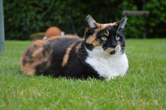 Hauskatze mit den gelben Augen, die auf Gras legen Lizenzfreie Stockbilder