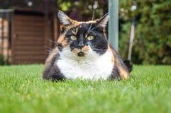 Hauskatze mit den gelben Augen, die auf Gras legen Stockbilder