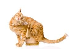 Hauskatzeverkratzen lokalisiert auf weißem Hintergrund Stockfoto