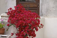 Hausmauer in St-Florent (Heiliges-Florent) mit Bouganvilla glabra, Korsika, Frankreich Stockfoto
