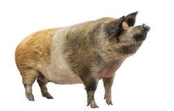 Hausschwein, das oben, lokalisiert steht und schaut Lizenzfreie Stockbilder