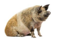 Hausschwein, das weg, lokalisiert sitzt und schaut lizenzfreie stockfotos