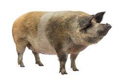 Hausschwein, das weg, lokalisiert steht und schaut Lizenzfreies Stockfoto
