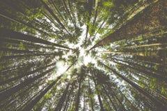 Hausse d'arbres de la forêt du nord-ouest Pacifique Image stock