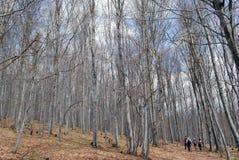 Hausse dans une forêt de hêtre Image libre de droits