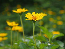 Hausse jaune de fleur au soleil Images libres de droits