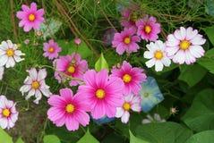 Hausse multicolore de fleurs de cosmos au-dessus des gloires de matin Photo libre de droits