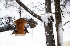 Hausspatz, der im Winter isst Stockfotos