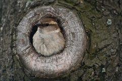 Hausspatz im Nest Stockfotografie