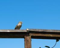 Haussperling auf einem Holzbalken Lizenzfreie Stockfotos