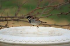 Haussperling auf Vogeltränke Lizenzfreie Stockfotos