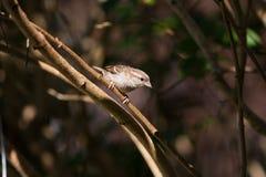 Haussperling auf Zweig im Sonnenlicht Lizenzfreie Stockfotografie