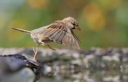 Haussperling, der in den Wasserteich mit ausgedehnten Flügeln und den Beinen springt lizenzfreies stockbild