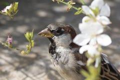 Haussperling, der im Frühjahr Blütenblumen isst lizenzfreie stockfotografie