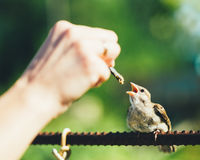 Haussperling (Passant Domesticus) auf Zaun Lizenzfreie Stockfotos