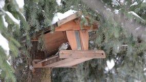 Haussperling (Passant domesticus) einen Samen auf Vogelzufuhr aufhebend stock video footage