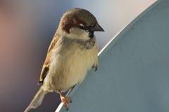 Haussperling, Passant domesticus, Spezies eines kleinen Vogels vom Spatzenfamilie Passeridae stockbild