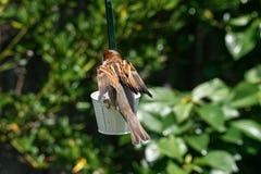 Haussperlings-Passant domesticus Landung auf Gartenvogelzufuhr lizenzfreie stockfotos