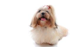 Haustier auf Weiß Stockfoto
