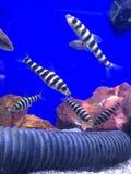 Haustier-Fische Lizenzfreies Stockfoto