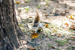 Haustier-Herbstwald des Eichhörnchenpelzes lustiger Stockfoto