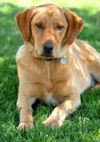 Haustier-Hund Lizenzfreie Stockfotos