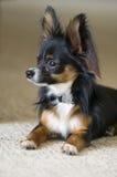 Haustier-HundeChihuahua Lizenzfreie Stockbilder