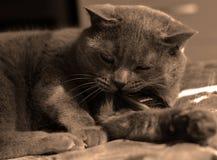 Haustier ist eine graue flaumige Katze stockfoto