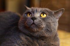 Haustier ist eine graue flaumige Katze lizenzfreies stockbild