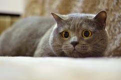 Haustier ist eine graue flaumige Katze lizenzfreies stockfoto