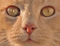 Haustier-Katze Lizenzfreies Stockfoto