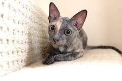 Haustier kornischer Rex Cat Laid auf Schritt des Treppenhauses Lizenzfreies Stockbild