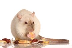 Haustier-Ratte-Essen Stockbild