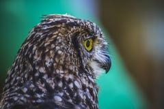 Haustier, schöne Eule mit intensiven Augen und schönes Gefieder Lizenzfreie Stockfotos