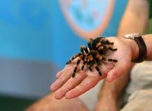 Haustier Tarantula Lizenzfreie Stockfotografie