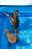 Haustierenten im Pool eines Kindes Stockbilder