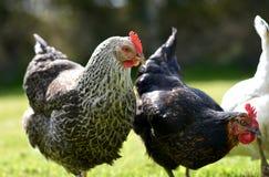 Haustierhühner Stockbild