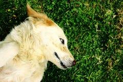 Haustierhund Stockbild