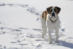 Haustierhund, der im Schnee steht Lizenzfreie Stockfotos