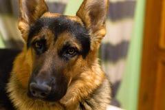 Haustierporträt Lizenzfreie Stockbilder