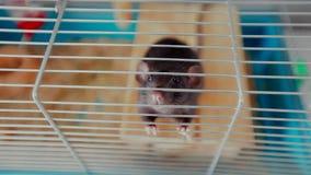 Haustierratte in einem Käfig stock video footage