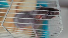 Haustierratte in einem Käfig stock video