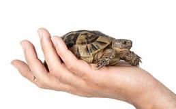 Haustierschildkröte in der Hand Lizenzfreies Stockfoto